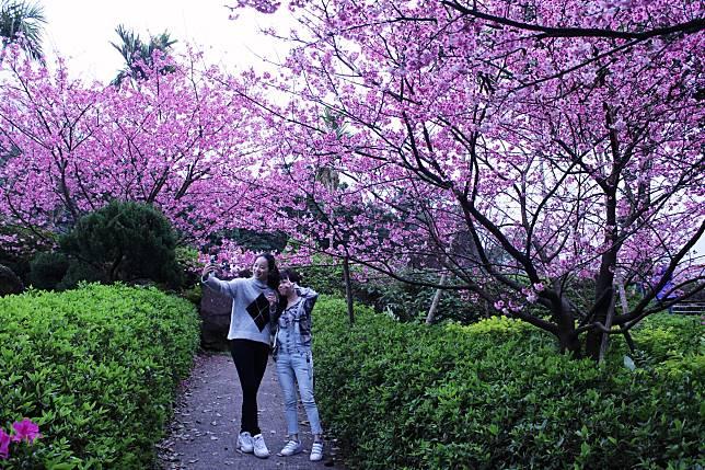 天元宮三色櫻過年最美    賞櫻專車遊遍淡水