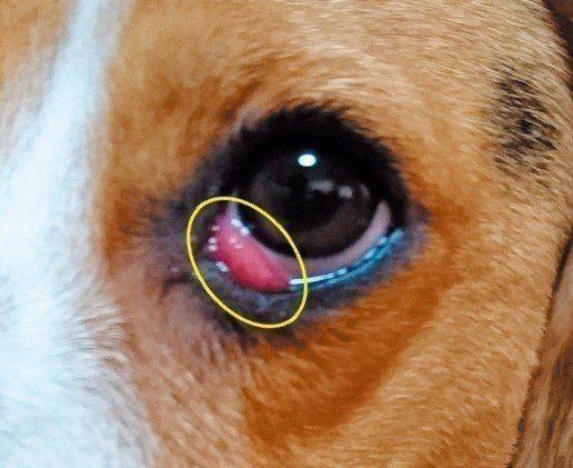 が 犬 の 赤い 目