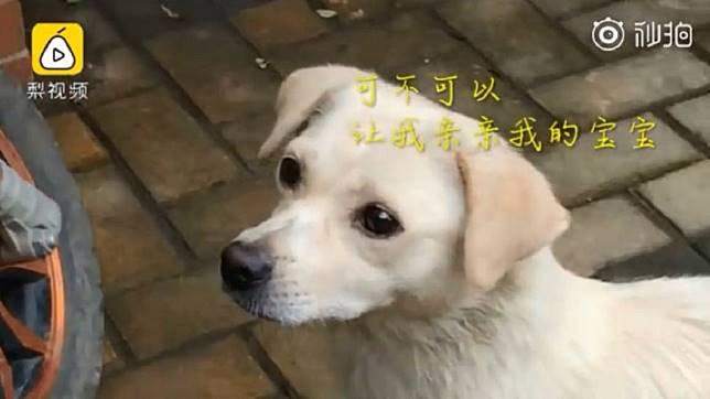 鄭州大學一隻流浪狗媽媽,和孩子依依不捨的道別。(圖/翻攝自梨視頻)