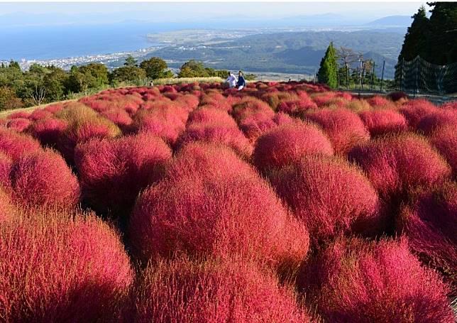 同步開放的地膚公園,內裏種有2,000棵粉紅色的地膚,效果悅目。(互聯網)