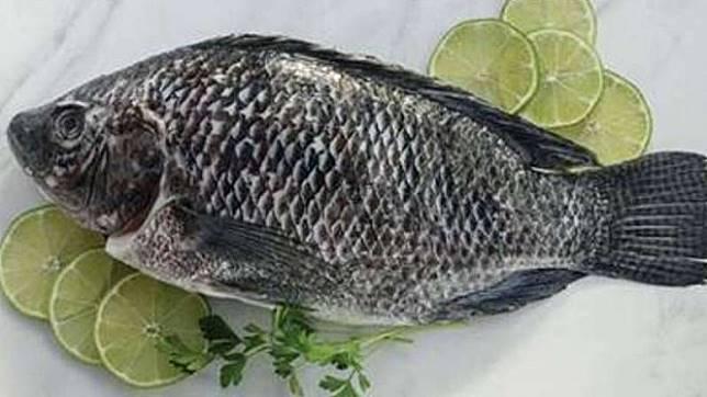 Ikan Tilapia Terbaik Dunia Ternyata dari Danau Toba