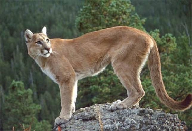 Ilustrasi singa gunung atau puma. Sumber: Republik Eusosialis Tawon