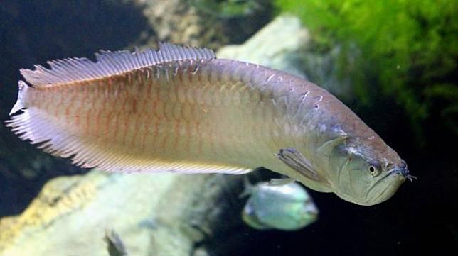 Ikan arwana. (Pixabay/zoosnow)