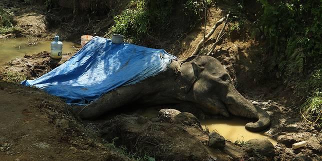 PD Pembangunan Akan 'Minta' Sepasang Gajah ke BBKSDA Sumut