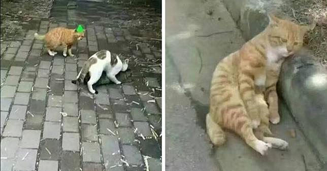 Kucing Betina Selingkuh Sang Kucing Jantan Patah Hati, Ekspresinya Lucu Banget