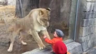 看完這位小男孩讓獅子反應激動的畫面後 網友對「那塊玻璃」產生了兩極化的反應...
