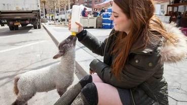 一對情侶意外養了「寵物羊」 開啟了他們之間的溫馨故事...
