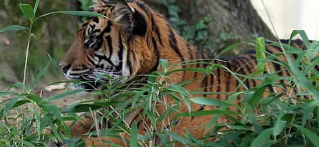 Sumatran tiger kills Indonesian farmer, injures tourist