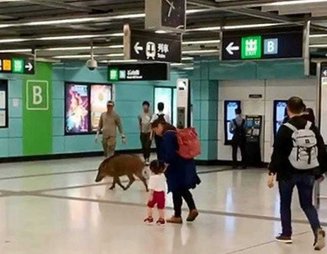 野豬闖入港鐵站內。