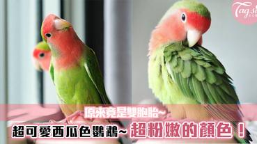 超可愛西瓜色鸚鵡~超粉嫩的顏色!原來竟是雙胞胎~綠中一點紅也太特別了!