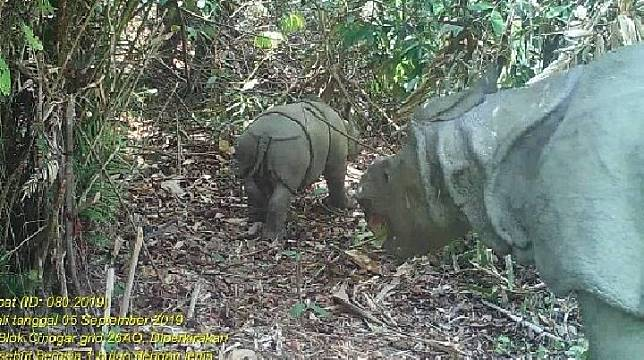 Video trap menangkap pergerakan anak Badak Jawa di Taman Nasional Ujung Kulon (TNUK).(Foto/TNUK)