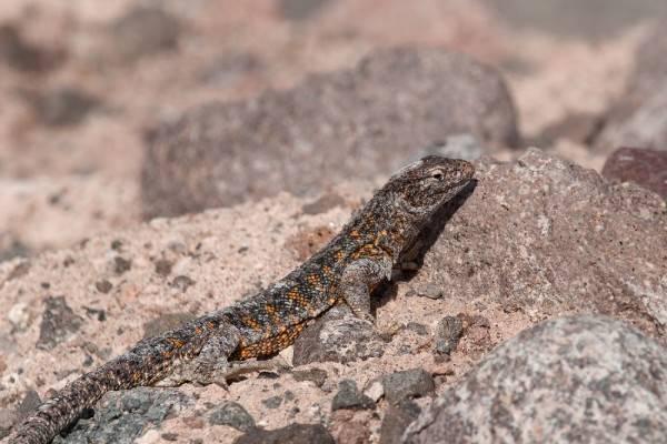 5 Hewan Unik yang ada di Gurun Atacama, Amerika Selatan