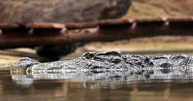 「4.2m巨鱷」活吞33歲工人!村民圍捕解剖...驚見碎人骨