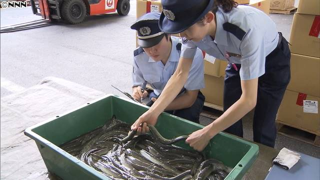 """ญี่ปุ่นนำเข้าปลาไหลกิโลกรัมละ 5,500 เยน ก่อนถึงเทศกาล """"วันกินปลาไหล"""" 27 ก.ค. นี้"""