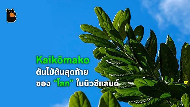 Kaikōmako ต้นไม้ที่เกือบสูญพันธุ์เพราะ