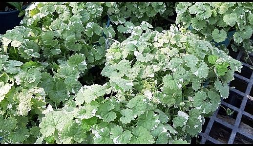 金錢樹是一種非常耐旱、耐陰的室內盆栽綠植,對懶人和新手都是非常適合的