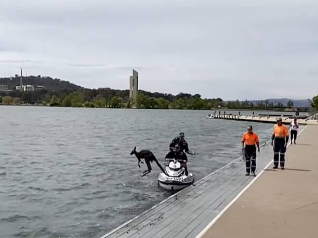 袋鼠水中漂被員警送上岸卻轉身再跳水 網:沒游夠啦!