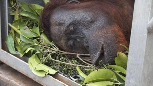Satu dari dua individu orangutan dalam kondisi terbius di kandang usai diselamatkan dari pohon yang terbakar di lokasi karhutla di Desa Sungai Awan Kiri, Kecamatan Muara Pawan, Kabupaten Ketapang, Kalimantan Barat, Senin (16/9/2019). International Animal Rescue (IAR) Indonesia dan BKSDA Kalbar Seksi Konservasi Wilayah (SKW) 1 Ketapang menyelamatkan dua individu Orangutan jantan dan betina berusia sekitar 20 tahun dari atas pohon di tengah lahan yang sudah habis terbakar. Selanjutnya kedua mahluk primata tersebut akan menjalani perawatan di pusat rehabilitasi IAR [ANTARA FOTO/HO/IAR Indonesia-Heribertus/jhw/NZ].