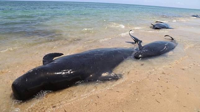 Sejumlah Paus jenis pilot mati akibat terdampar di pesisir pantai desa Manie, Kabupaten Sabu Raijua, NTT, Jumat (11/10). [ANTARA FOTO/HUMAS BKKPN KUPANG]