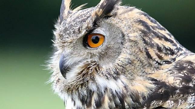 Ilustrasi burung hantu elang atau eurasia eagle-owl. (Pixabay/ Kevinsphotos)
