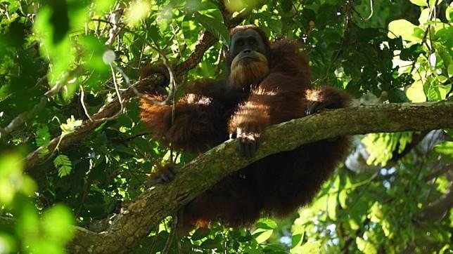 The gaze: A Tapanuli orangutan perches on a tree limb and examines the photographer.