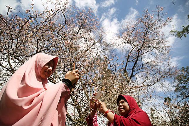 Visitors take pictures of blooming trees at the Cibodas Botanical Garden in Cianjur, West Java.