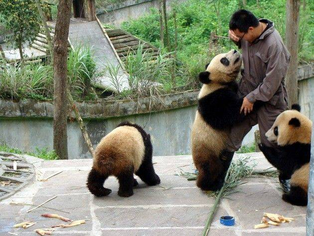 телефоны, панды опасны для человека покрытияИмперия