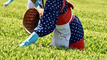 八十八夜茶中的「八十八夜」是什麼意思?日本初夏的節氣文化
