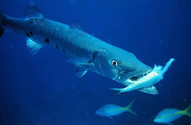 Unduh 460+ Gambar Ikan Barakuda HD Gratis