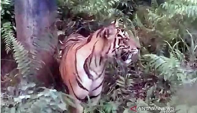 Harimau Sumatera tertangkap kamera warga dalam video amatir di dekat fasilitas minyak Badan Operasi Bersama PT Pertamina - PT Bumi Siak Pusako di areal Zamrud, Siak, Oktober 2019. (ANTARA/HO-BBKSDA Riau)
