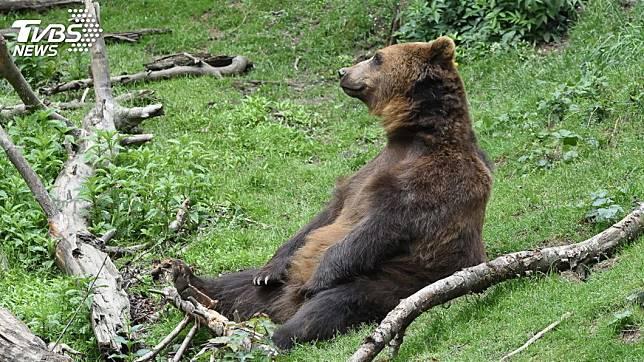 時常傳出野外棕熊攻擊人類的事件。(示意圖/TVBS)