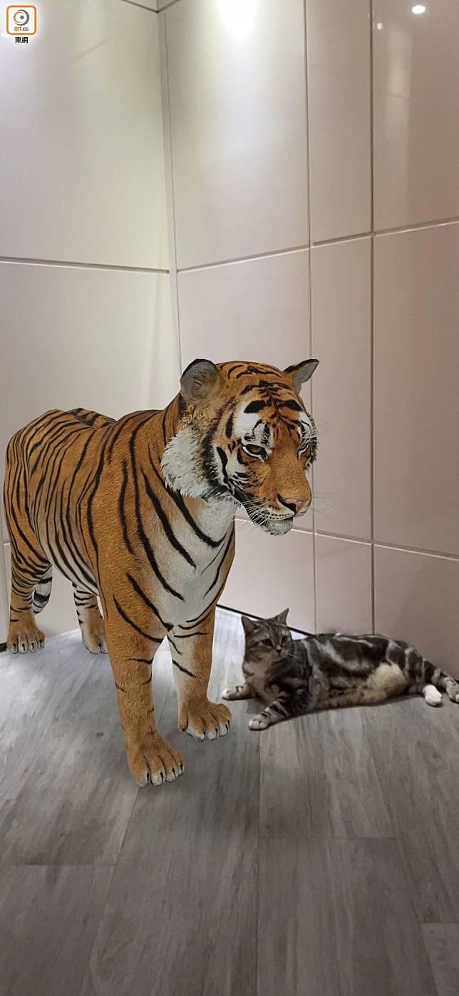 Step 04:成功後一隻3D動物就會出現在真實環境,牠會做出一些特殊動作,例如老虎會走動、舔毛及咆哮等,相當生動。(互聯網)