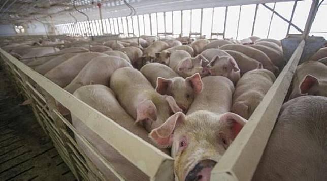 Peternakan babi [www.swineweb.com]