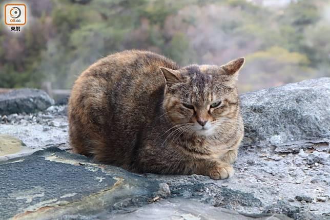 雲仙地獄因熱暖長存,故冬天時特別多貓聚集,成了看貓小景點。(劉達衡攝)