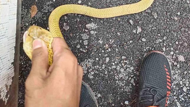 กู้ภัยพบงูเห่าสีทอง คอหวยเชื่อ! มาให้โชค พากันเอาเลขที่บ้านไปตีเป็นเลขเด็ด