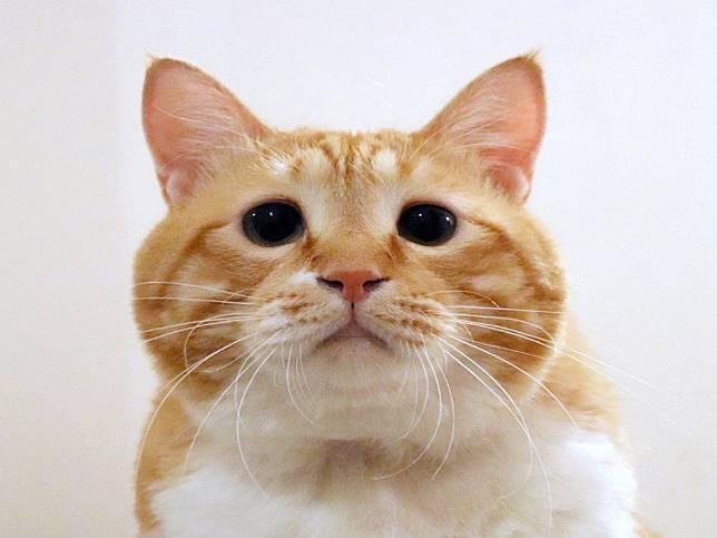 日本橘白貓超肥軟 天生苦情臉卻萌到不行坐擁廣大粉絲!