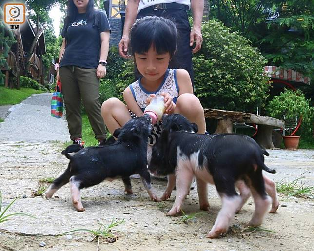 拿着奶樽餵大群可愛小豬,感覺真係好治愈。(劉達衡攝)
