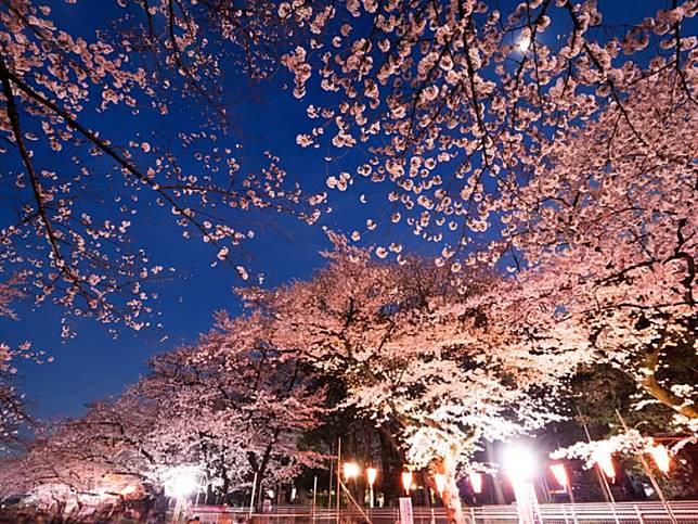 「八重瀨櫻花祭」設有夜櫻時段,可以吃晚餐前先去欣賞一番。(互聯網)