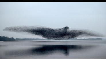 數不清的椋鳥空中飛舞形成進擊巨鳥