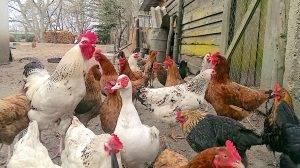 禽流感知多少?症狀傳播途徑一次懂