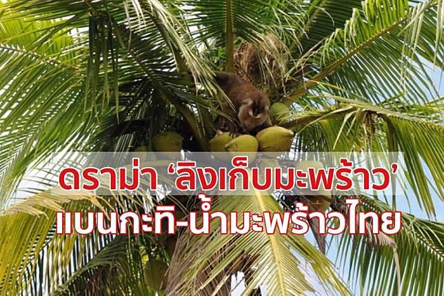 'ลิงเก็บมะพร้าว' เป็นเหตุแบนกะทิ-น้ำมะพร้าวไทย สั่งทูตพาณิชย์เร่งแจงอังกฤษ