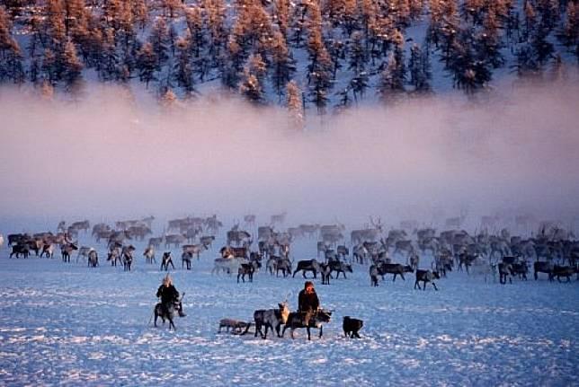 Sekelompok rusa kutub di kawasan pegunungan Verkhoyansk di Yakutia, Siberia.