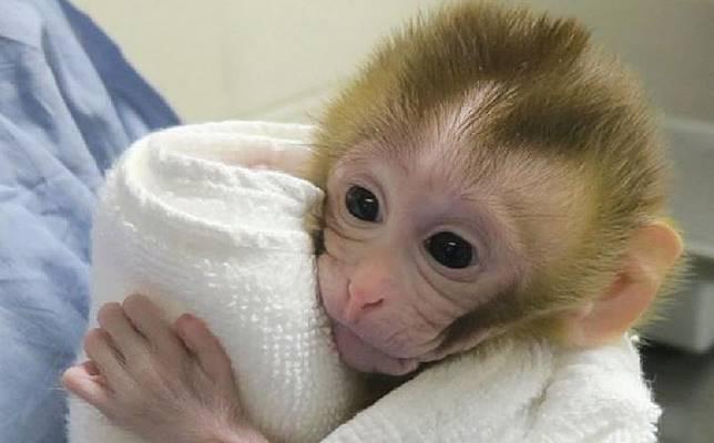 Grady, usia dua minggu, adalah primata pertama yang lahir menggunakan sperma dari teknik cangkok jaringan. Kredit: OHSU