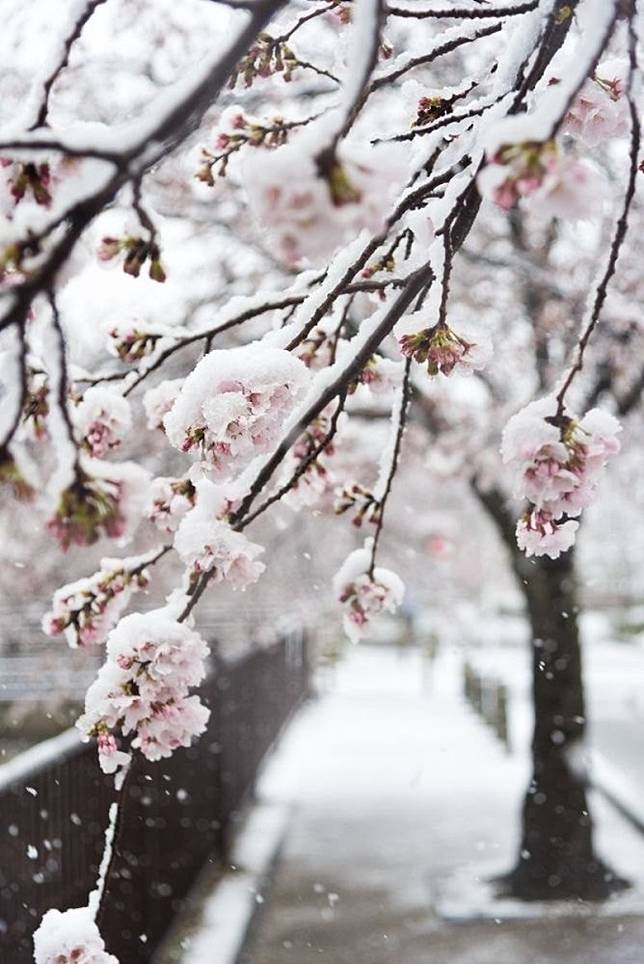 走在雪櫻樹下來一幅合照,也是十分美好的一幕。(互聯網)