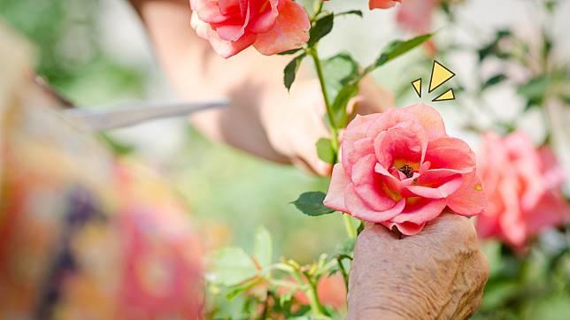 6 Cara Menanam Mawar di Rumah Supaya Kebun Tampak Cantik dbced90259