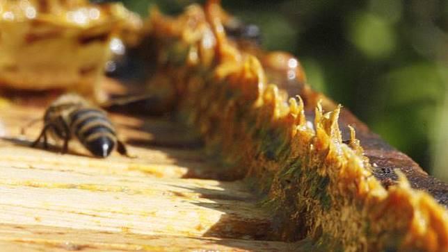 méz és propolis a prosztatitisből