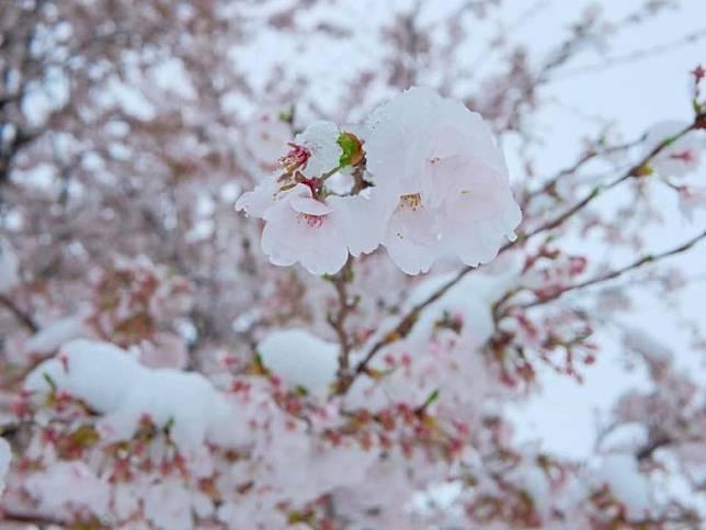 凍到結冰的櫻花,猶如一件藝術品,有一種通透的感覺。(互聯網)