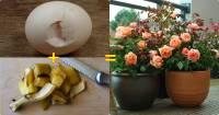 Vỏ trứng + chuối = ÂN NHÂN cứu cả vườn hoa héo, cây lột xác nở rộ, phát triển thần tốc