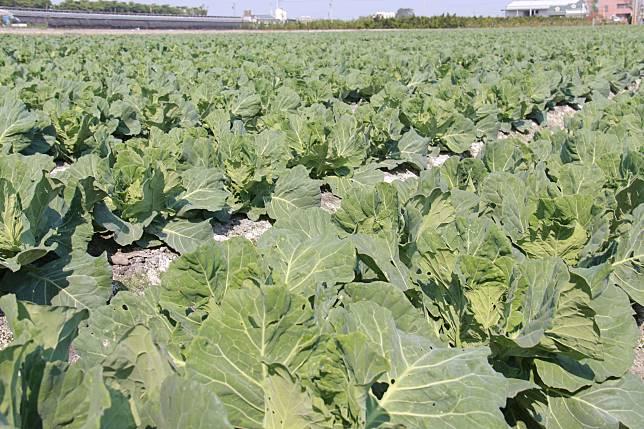 高麗菜種植登記