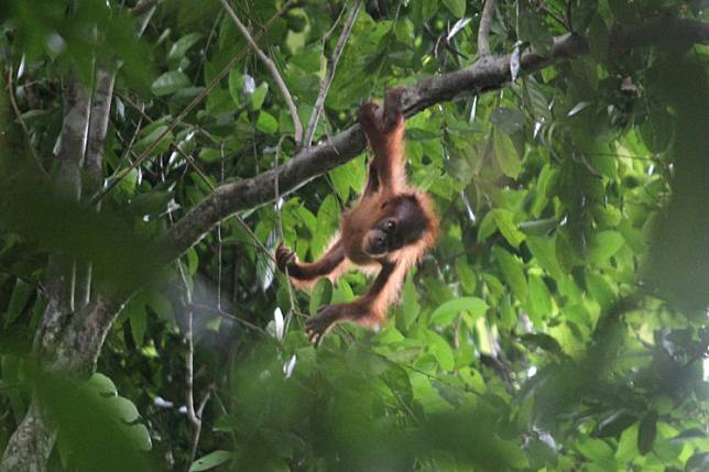 A Sumatran orangutan hangs on a tree branch in the Leuser Ecosystem Area in Aceh on June 20.